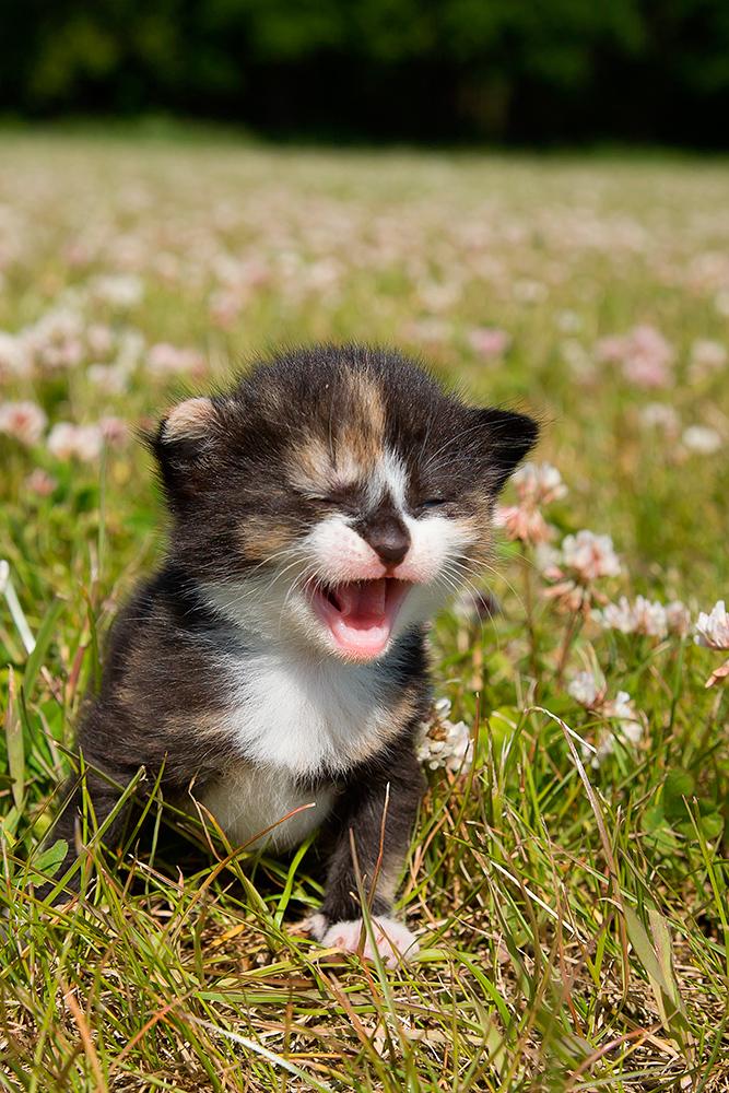 Lille kattekilling der miaver på kløvermark af Palle Christensen
