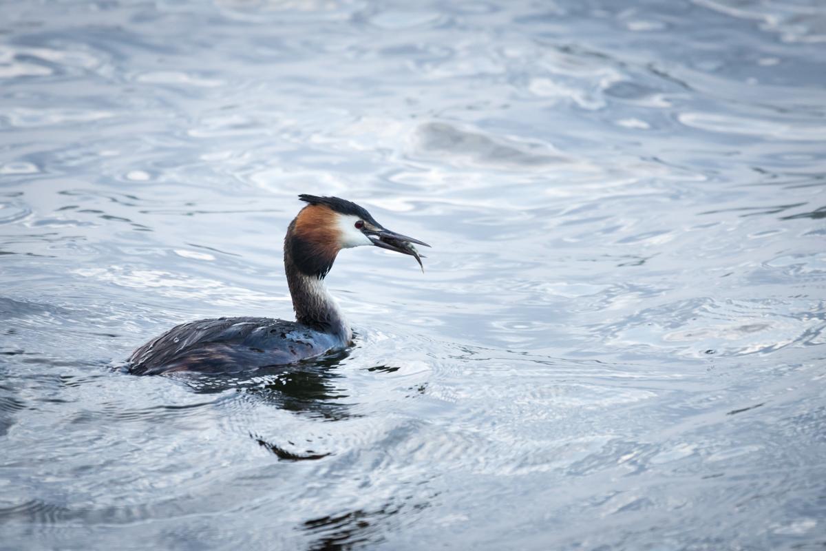 fugl der lige har fanget lille fisk i næbet